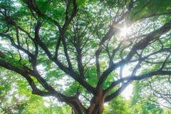 Grandes árvores Fotografia de Stock