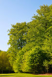 Grandes árvores com folhas verdes Foto de Stock Royalty Free