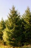 Grandes árvores de Natal selvagens Imagens de Stock Royalty Free
