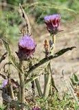 Grandes alcachofras roxas prontas para ser colhido Fotografia de Stock