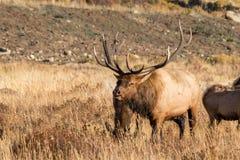 Grandes alces de 6x6 Bull Imagens de Stock Royalty Free