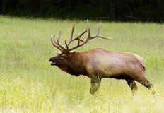 Grandes alces do touro prontos para a batalha fotos de stock royalty free