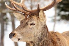 Grandes alces no inverno Imagens de Stock Royalty Free