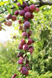 Grandes ameixas maduras em um ramo no jardim fotos de stock royalty free
