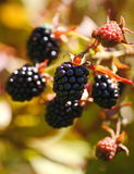 Grandes amoras-pretas pretas do jardim das bagas, crescendo uma escova no fundo da folha verde nos ramos de um arbusto Foto de Stock