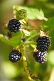 Grandes amoras-pretas pretas do jardim das bagas, crescendo uma escova no fundo da folha verde nos ramos de um arbusto Fotografia de Stock