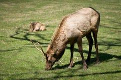 Grandes animais selvagens fumarentos dos alces do parque nacional das montanhas Fotos de Stock