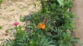 Grandes asas alaranjadas do flapping da borboleta na flor filme