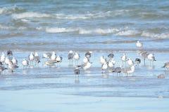 Grandes associações do congretgate das gaivotas com outras gaivotas no tempo fino oferecido em florida sul fotografia de stock royalty free