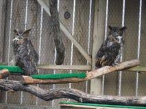 Grandes búhos de cuernos Imagen de archivo