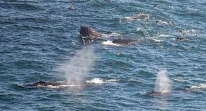 4 grandes baleines de bosse soufflant et alimentant Images libres de droits