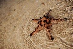 Grandes belles étoiles de mer rouges Photo libre de droits