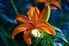 Grandes belles fleurs oranges Photos libres de droits