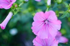 Grandes belles fleurs roses de plan rapproché de Lavatera sur le fond trouble Images stock