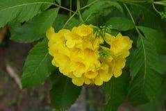 Grandes, belles, jaune-d'or fleurs tubulaires Image stock