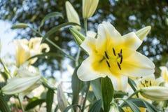 Grandes belles orchidées jaunes dans le jardin Images libres de droits