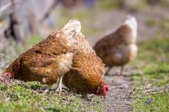 Grandes belles poules rouge-brun gentilles alimentant dehors dans l'hydromel vert image stock