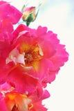 Grandes belles roses Photo libre de droits