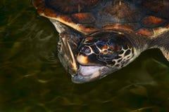 Grandes bocejos da tartaruga de mar Fotos de Stock