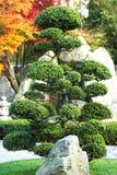 Grandes bonsais Imagem de Stock Royalty Free