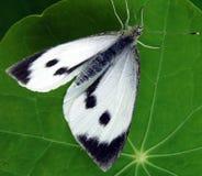 Grandes brassicae brancos do Pieris da borboleta Imagem de Stock