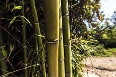 Grandes cannes en bambou vertes Images stock