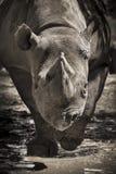 Grandes cargas pretas postas em perigo do rinoceronte para a câmera no jardim zoológico local Imagens de Stock
