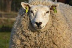 Grandes carneiros brancos com nariz preto e muito cabelo encaracolado macio que formam seu revestimento imagem de stock