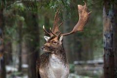 Grandes ciervos en barbecho adultos con los cuernos grandes, cabeza maravillosamente dada vuelta Paisaje europeo de la fauna con  foto de archivo