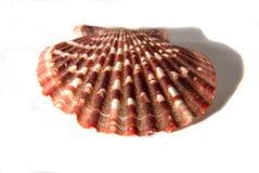grandes coquilles de mer Photographie stock