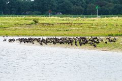 Grandes cormorões de descanso, Rammelwaard, Holanda Foto de Stock Royalty Free
