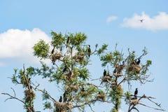 Grandes cormorões do aninhamento no secado acima da árvore Fotografia de Stock