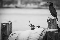 Grandes cormoranes fotos de archivo libres de regalías
