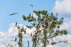 Grandes cormoranes de la jerarquización en secado encima de árbol Foto de archivo libre de regalías