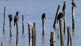 Grandes cormoranes de reclinación en la reserva de Le Teich Bird, Francia metrajes