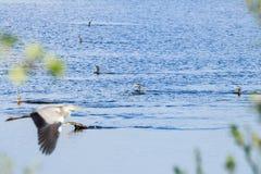 Grandes cormoranes que nadan, Rammelwaard, Holanda Imágenes de archivo libres de regalías