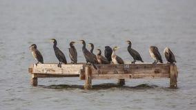 Grandes cormoranes y cormoranes enanos en la plataforma Imágenes de archivo libres de regalías