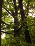 Grandes coroas da árvore Imagem de Stock Royalty Free