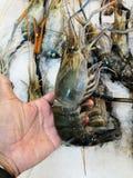 Grandes crevettes roses de rivière à disposition image stock