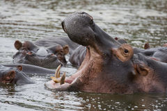 Grandes dents d'hippopotame Image libre de droits