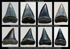 Grandes dientes fósiles del tiburón blanco Fotografía de archivo libre de regalías