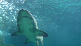 Grandes dientes y vientre del tiburón blanco almacen de video