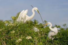 Grandes Egrets brancos que constroem o ninho (trabalhos de equipa) Fotografia de Stock Royalty Free