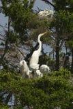 Grandes egrets e jovens Imagem de Stock