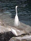 Grandes Egrets nas rochas foto de stock royalty free