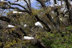 Grandes Egrets que jerarquizan en árbol Fotografía de archivo libre de regalías
