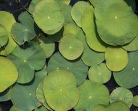Grandes et petites feuilles de nénuphar Image stock