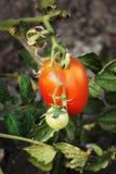Grandes et petites tomates vertes mûres Photo stock