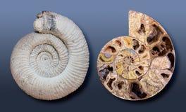 Grandes fósseis de Ammmonite Fotografia de Stock