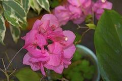 Grandes feuilles cramoisies saisissantes de fleur Photographie stock libre de droits